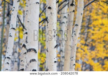Autumn landscape with trunks of birches and yellow foliage