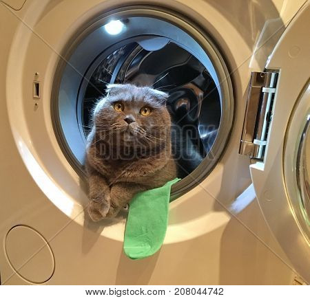 cat, gray Scottish fold in a washing machine, round entrance, lies proudly on the doorstep, next to the green sock