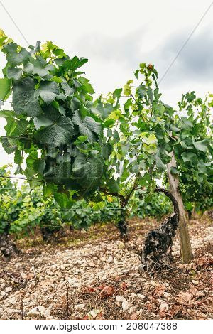 Noble vine grows winemaking in northern Burgundy France