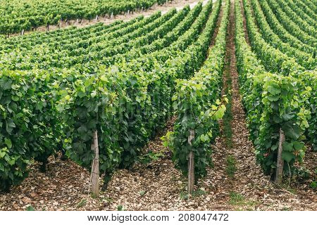 Grapes grows in rows in the field France the wine region of Chablis