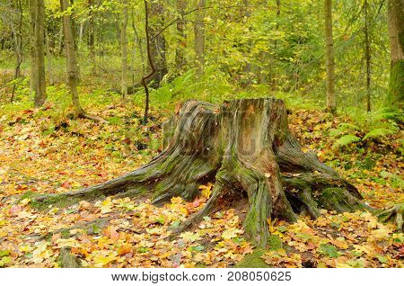 We see untouched nature and a rotten tree stump in the woods.