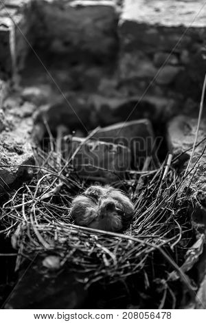 Little Chicks in the nest white black and white, poster