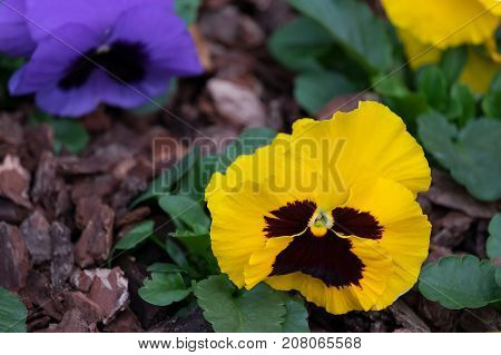 Pansy Flowers bright yellow spring-summer flowers Pansies in the garden