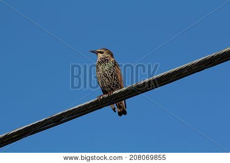 European Starling resting on a power line.