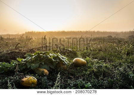 Pumpkin in a beautiful mystery fiield full of weeds and dew sunrise in distance on a autumn morning dawn as agriculture or halloween background