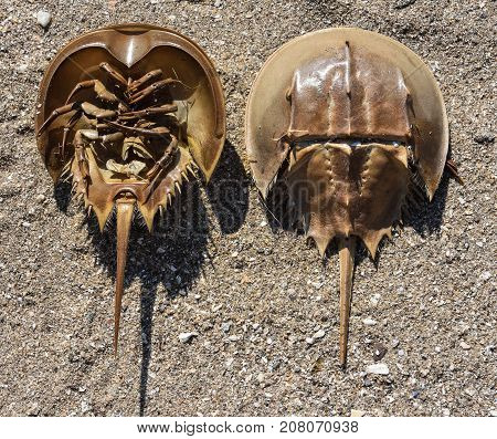 Horseshoe Crabs are arthropods of the family Limulidae and Order Xiphosura / Xiphosurida invertebrate.  This picture shows the top and underside of the crustacean.