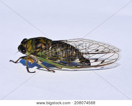 The side view of a Cicada insect.  They are from the Order Hemiptera, the Infraorder Cicadomorpha and the Superfamily Cicadoidea.