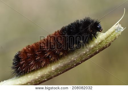 Woolly Bear Caterpillar or Isabella Tiger Moth, Pyrrharctia Isabella, is used as a weather predictor in some societies.  This is a side view of the insect crawling towards the end of a small stick.