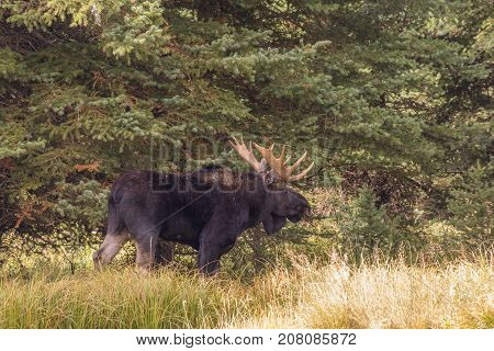 a bull shiras moose in the fall rut in Wyoming