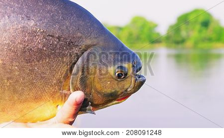 Hands Of A Fisherman Holding A Fish Known As Pacu