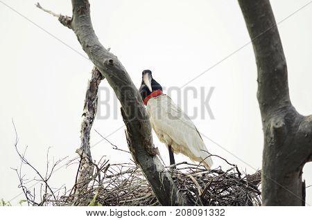 Tuiuiu Bird On His Nest Over A Tree. Bird Of Pantanal, Brazil