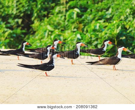 Group Of Black Skimmer Birds On A Sand Bank On The Margins Of A River