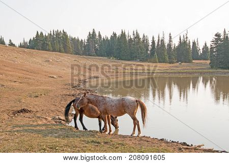 Red Roan Stallion And Bay Stallion Wild Horses At The Waterhole In The Pryor Mountains Wild Horse Ra