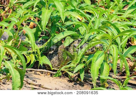 Alligator Camouflaged Among The Green Plants