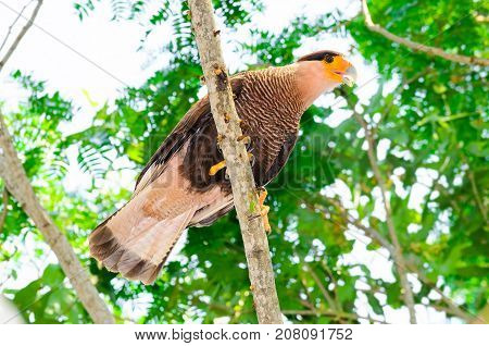 Carcara Hawk With Brown And White Feathers On A Tree Branch