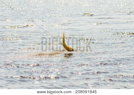 Dourado Fish Hooked By A Artificial Bait Fighting And Jumping Out Of Water