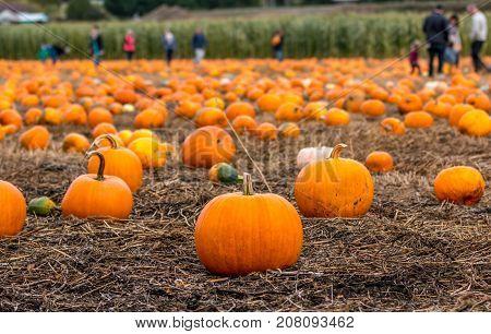 Shallow focus on pumpkin patch as families pick Halloween pumpkins.