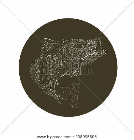 Scratchboard style illustration of a Largemouth Bass barramundi Asian sea bass or Lates calcarifer jumping updone on scraperboard on isolated background.