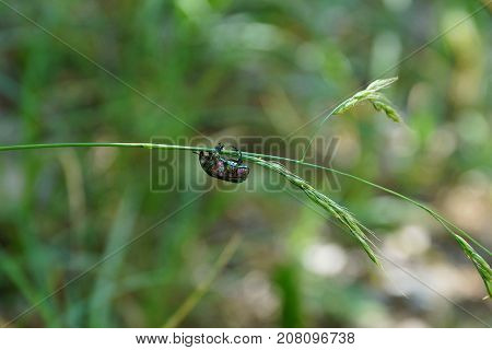 Green beetle sits on a thin stalk of grass