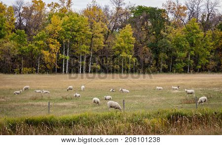 horizontal image of white sheep grazing quietly in the pasture surrounded by beautiful autumn coloured trees.