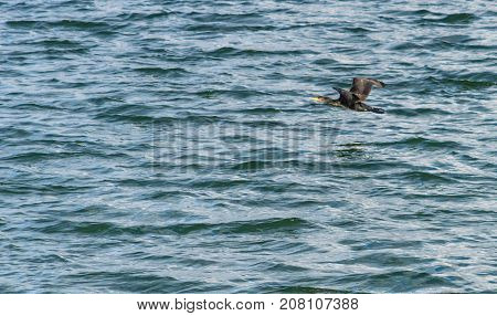 The great cormorant, Phalacrocorax carbo flying over Draycote Waters Lake in united kingdom.