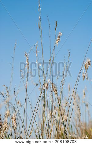Close up of wild grass with seeds ready to fall and spread.