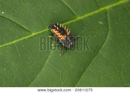 Ladybird Beetle Larva (Coccinella)