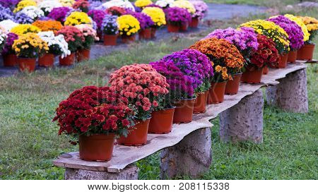 A wooden bench with potted chyrsanthemums in rust coral fuchsia purple pink yellow and gold. They are on a rustic bench.