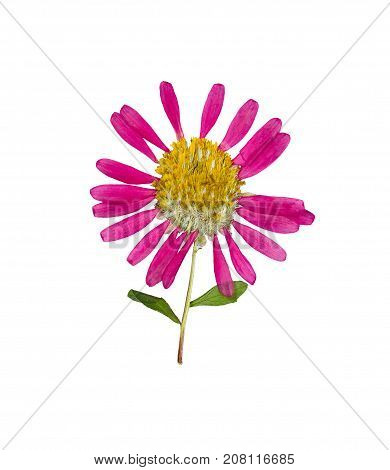 Pressed and dried flowers aster (Michaelmas daisy) on stem with green leaves. Isolated on white background. For use in scrapbooking pressed floristry or herbarium.