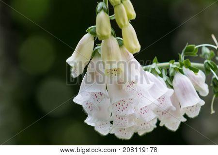 Beautiful leaning stem of Foxglove or Digitalis Purpurea.