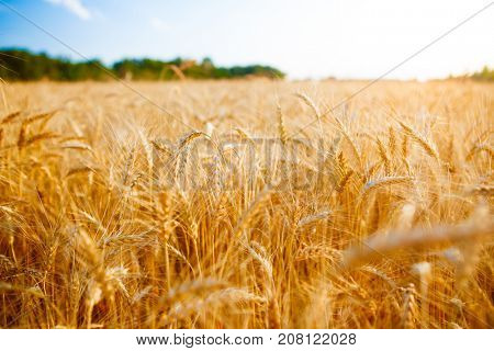 Image of ripe spikelets of wheat, sky, forest
