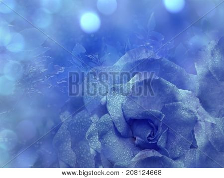 Floral blue background from rose. Flowers composition. A flower of a blue rose on a transparent blue background bokeh. Close-up. Nature.
