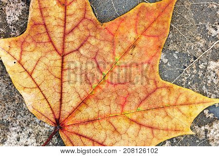 Fallen Bright Orange Maple Leaf On Dried Skeleton Leaves Background