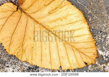 Skeletons Of Withered Leaves And Fallen Dry Yellow Leave With Venation Closeup