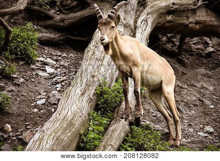 A mountain goat on the rocks and a fallen tree. Copy space