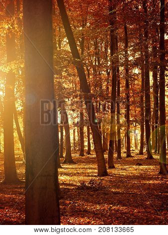 Beautiful seasonal background sunrise or sunset in a beech forest autumn concept image