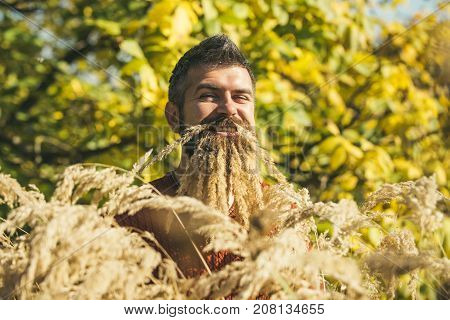 Spikelet beard at barber and hairdresser. Hipster or bearded guy in autumn nature outdoor. Season and autumn holiday. Floral fashion and beauty. Man with natural spikelet beard sunny fall.