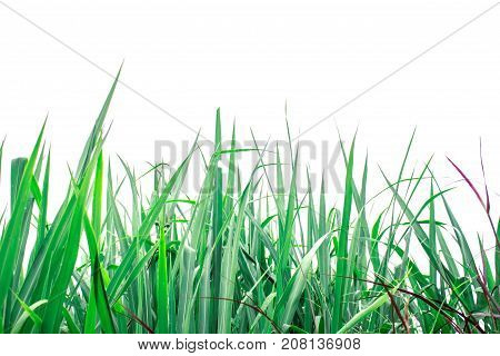 Green of grass on a white background.
