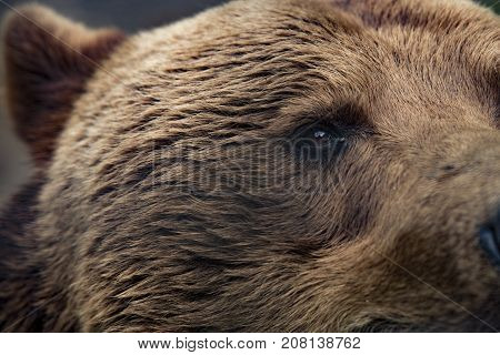 Closeup of the eye of a grizzly bear