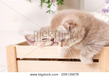 Two Scottish fold Kittens in a wooden box under flowers. Selective focus
