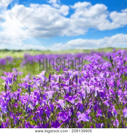 Summer bright scenery. Field of beautiful flowers bells with blue sky and clouds.
