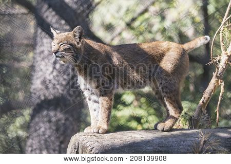 Siberian Lynx. Wild Animal In Zoo