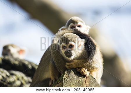 Squirrel monkey sitting on a treetrunk, with little monkey on back