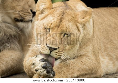 Young lioness likking paw with eyes closed