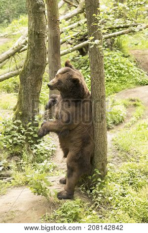 Grizzly bear scratching his back to tree
