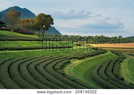 green tea farm at chiang rai Thailand