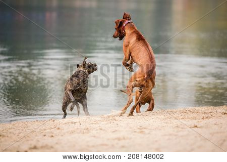 Three purebred dogs walking and playing on the bank of a pond.