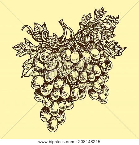Bunches of grapes grow viticulture vector illustration sketch nature food juicy berry. Winery harvest natural hand drawn agriculture nutrition.