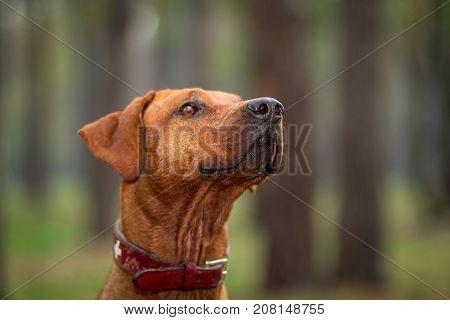 Rhodesian ridgeback walking outdoors. Focus on dogs nose.