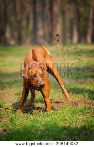 Rhodesian ridgeback walking outdoors playing and diging a hole in the ground.